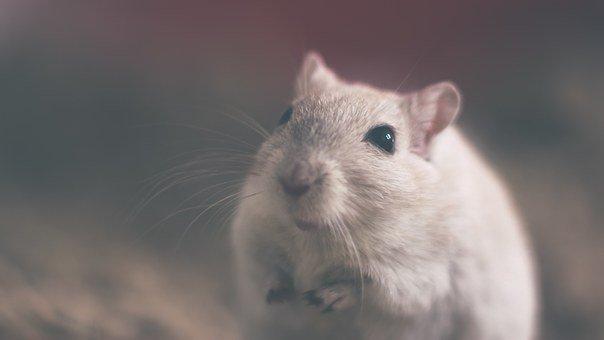 Significado de soñar con ratas grandes
