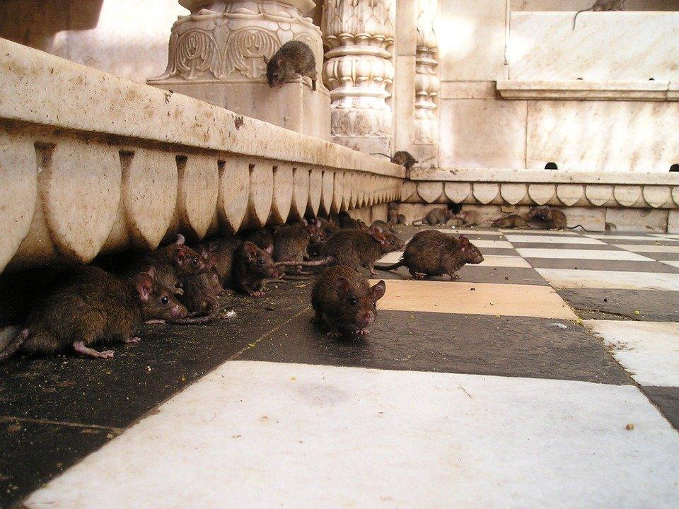 ¿Qué significa soñar con muchas ratas?