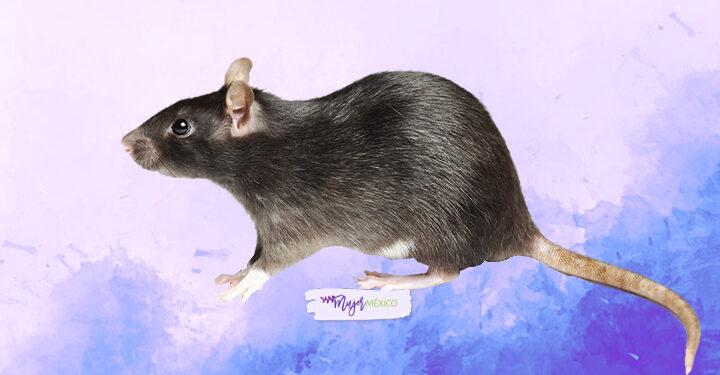 ¿Qué significa soñar con ratas? Aquí te lo explicamos