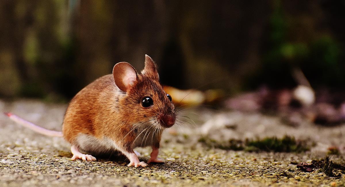 ¿Qué significa soñar con ratas corriendo?