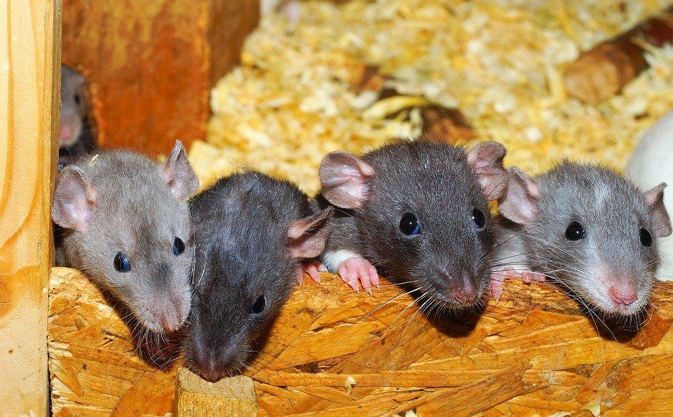 ¿Qué significa soñar con ratas grises?