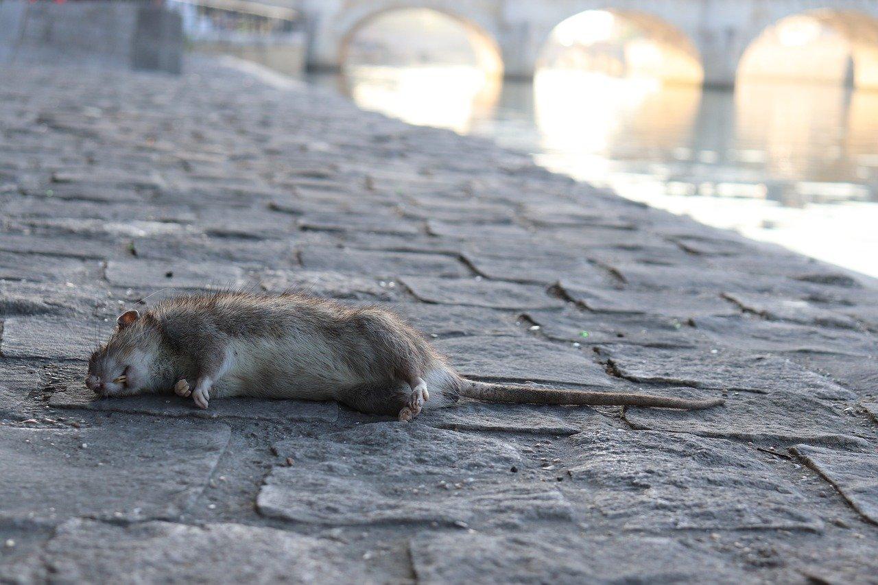 ¿Qué significa soñar con ratas muertas?