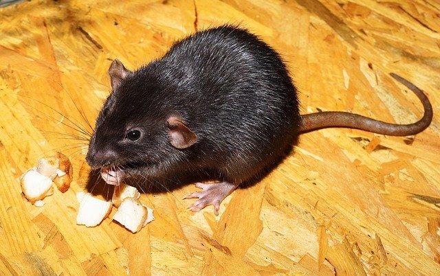 Significado de soñar con ratas negras
