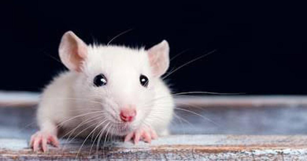 Significado de soñar con ratas blancas