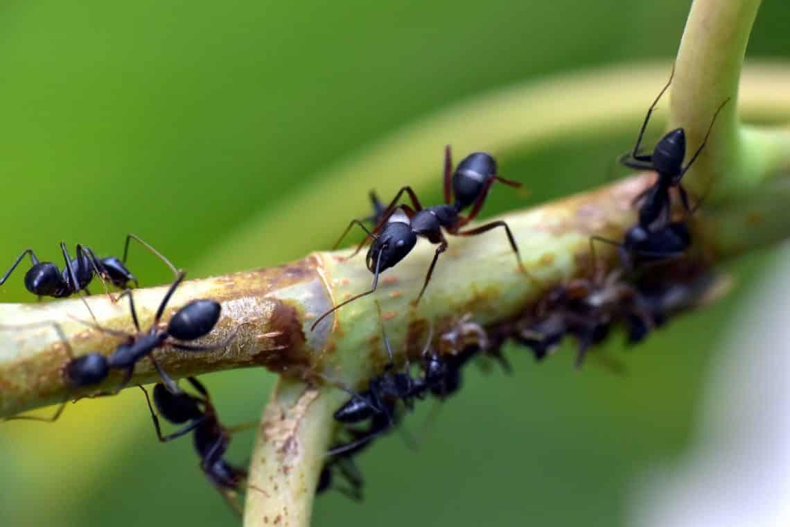 ¿Qué significa soñar con hormigas negras?