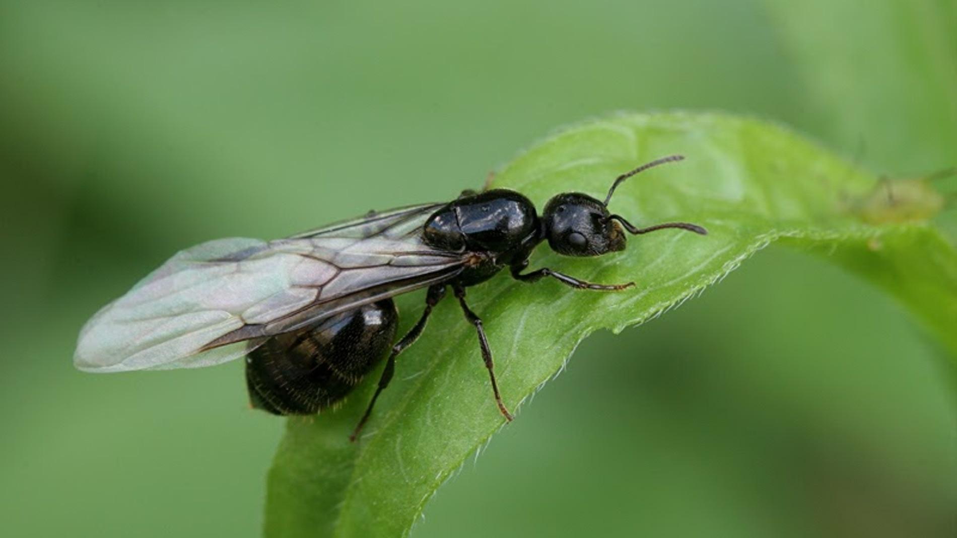 ¿Qué significa soñar con hormigas voladoras?
